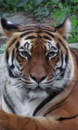 Download free mobile wallpaper 40741: Tigers,Animals for phone or tab. Download images, backgrounds and wallpapers for mobile phone for free.