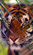Download free mobile wallpaper 44332: Tigers,Animals for phone or tab. Download images, backgrounds and wallpapers for mobile phone for free.