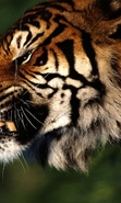 Download free mobile wallpaper 44463: Tigers,Animals for phone or tab. Download images, backgrounds and wallpapers for mobile phone for free.