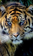 Download free mobile wallpaper 44550: Tigers,Animals for phone or tab. Download images, backgrounds and wallpapers for mobile phone for free.