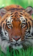 Download free mobile wallpaper 44802: Tigers,Animals for phone or tab. Download images, backgrounds and wallpapers for mobile phone for free.
