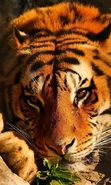 Download free mobile wallpaper 45156: Tigers,Animals for phone or tab. Download images, backgrounds and wallpapers for mobile phone for free.