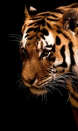 Download free mobile wallpaper 45438: Tigers,Animals for phone or tab. Download images, backgrounds and wallpapers for mobile phone for free.