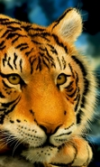 Download free mobile wallpaper 45717: Tigers,Animals for phone or tab. Download images, backgrounds and wallpapers for mobile phone for free.