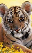 Download free mobile wallpaper 45979: Tigers,Animals for phone or tab. Download images, backgrounds and wallpapers for mobile phone for free.