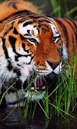 Download free mobile wallpaper 46114: Tigers,Animals for phone or tab. Download images, backgrounds and wallpapers for mobile phone for free.