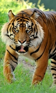 Download free mobile wallpaper 46465: Tigers,Animals for phone or tab. Download images, backgrounds and wallpapers for mobile phone for free.