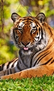 Download free mobile wallpaper 47712: Tigers,Animals for phone or tab. Download images, backgrounds and wallpapers for mobile phone for free.