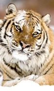 Download free mobile wallpaper 47854: Tigers,Animals for phone or tab. Download images, backgrounds and wallpapers for mobile phone for free.