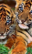 Download free mobile wallpaper 48283: Tigers,Animals for phone or tab. Download images, backgrounds and wallpapers for mobile phone for free.