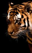 Download free mobile wallpaper 48915: Tigers,Animals for phone or tab. Download images, backgrounds and wallpapers for mobile phone for free.