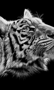 Download free mobile wallpaper 49476: Tigers,Animals for phone or tab. Download images, backgrounds and wallpapers for mobile phone for free.