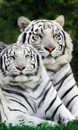 Download free mobile wallpaper 49533: Tigers,Animals for phone or tab. Download images, backgrounds and wallpapers for mobile phone for free.