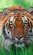 Download free mobile wallpaper 7123: Animals, Tigers for phone or tab. Download images, backgrounds and wallpapers for mobile phone for free.