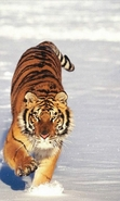 Download free mobile wallpaper 42336: Tigers,Animals,Winter for phone or tab. Download images, backgrounds and wallpapers for mobile phone for free.