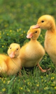Download free mobile wallpaper 43162: Ducks,Animals for phone or tab. Download images, backgrounds and wallpapers for mobile phone for free.