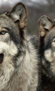 Download free mobile wallpaper 1746: Animals, Wolfs for phone or tab. Download images, backgrounds and wallpapers for mobile phone for free.