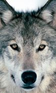 Download free mobile wallpaper 27277: Wolfs, Animals for phone or tab. Download images, backgrounds and wallpapers for mobile phone for free.