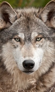 Download free mobile wallpaper 39169: Wolfs,Animals for phone or tab. Download images, backgrounds and wallpapers for mobile phone for free.