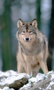 Download free mobile wallpaper 39591: Wolfs,Animals for phone or tab. Download images, backgrounds and wallpapers for mobile phone for free.