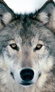 Download free mobile wallpaper 4432: Animals, Wolfs for phone or tab. Download images, backgrounds and wallpapers for mobile phone for free.