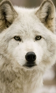 Download free mobile wallpaper 46695: Wolfs,Animals for phone or tab. Download images, backgrounds and wallpapers for mobile phone for free.