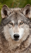 Download free mobile wallpaper 47321: Wolfs,Animals for phone or tab. Download images, backgrounds and wallpapers for mobile phone for free.