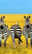 Download free mobile wallpaper 656: Humor, Animals, Zebra for phone or tab. Download images, backgrounds and wallpapers for mobile phone for free.