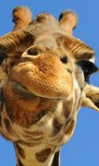 Download free mobile wallpaper 900: Humor, Animals, Giraffes for phone or tab. Download images, backgrounds and wallpapers for mobile phone for free.