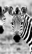 Download free mobile wallpaper 46524: Zebra,Animals for phone or tab. Download images, backgrounds and wallpapers for mobile phone for free.