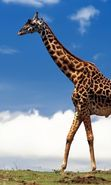 Download free mobile wallpaper 27952: Giraffes, Animals for phone or tab. Download images, backgrounds and wallpapers for mobile phone for free.