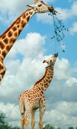 Download free mobile wallpaper 33778: Giraffes,Animals for phone or tab. Download images, backgrounds and wallpapers for mobile phone for free.
