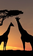Download free mobile wallpaper 34882: Giraffes,Animals for phone or tab. Download images, backgrounds and wallpapers for mobile phone for free.