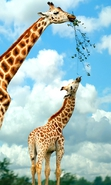 Download free mobile wallpaper 36874: Giraffes,Animals for phone or tab. Download images, backgrounds and wallpapers for mobile phone for free.