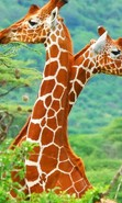 Download free mobile wallpaper 44692: Giraffes,Animals for phone or tab. Download images, backgrounds and wallpapers for mobile phone for free.