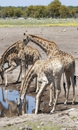 Download free mobile wallpaper 44845: Giraffes,Animals for phone or tab. Download images, backgrounds and wallpapers for mobile phone for free.