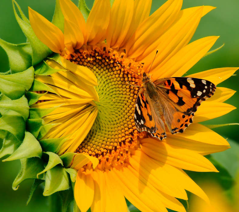 Download mobile wallpaper Plants, Butterflies, Flowers, Insects, Sunflowers for free.