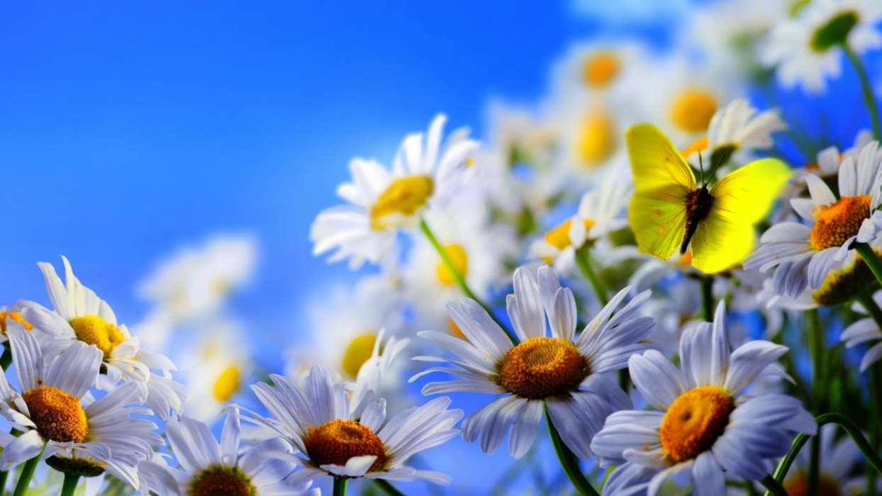 Download mobile wallpaper Plants, Butterflies, Flowers, Insects, Camomile for free.
