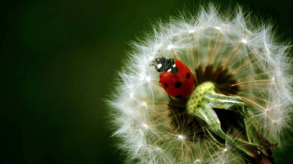 Download mobile wallpaper Plants, Flowers, Insects, Dandelions, Ladybugs for free.