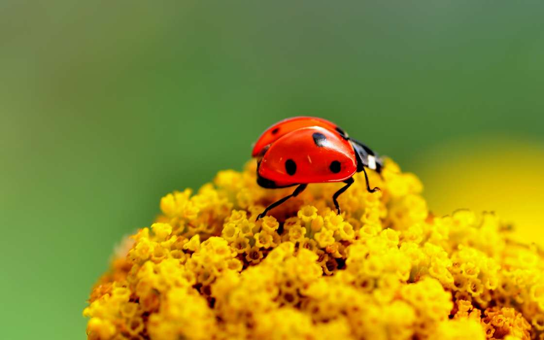 Download mobile wallpaper Insects, Ladybugs for free.