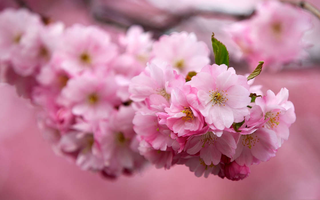 Download mobile wallpaper Plants, Flowers, Trees, Sakura for free.