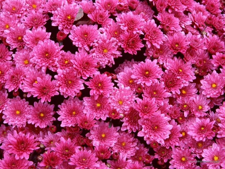 Download mobile wallpaper Plants, Flowers, Background, Chrysanthemum for free.
