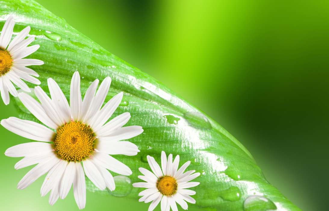 Download mobile wallpaper Plants, Flowers, Background, Leaves, Camomile for free.