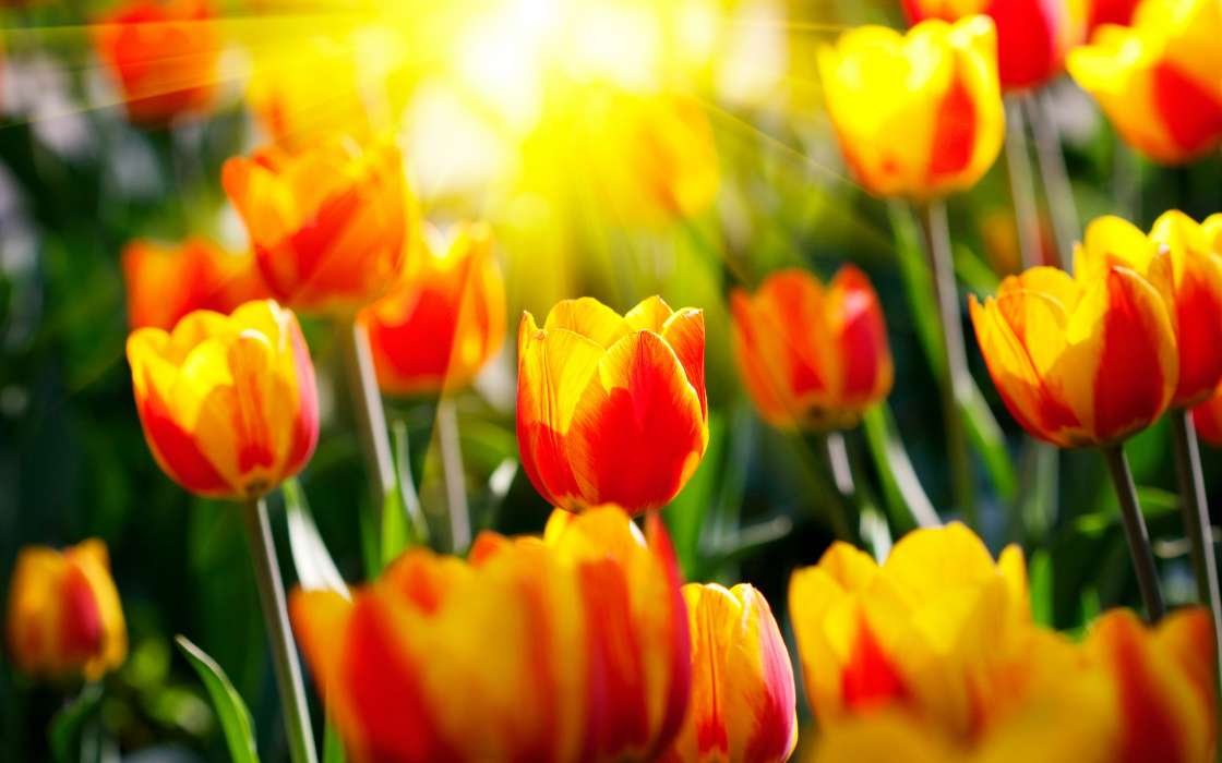 Download mobile wallpaper Flowers, Background, Tulips for free.