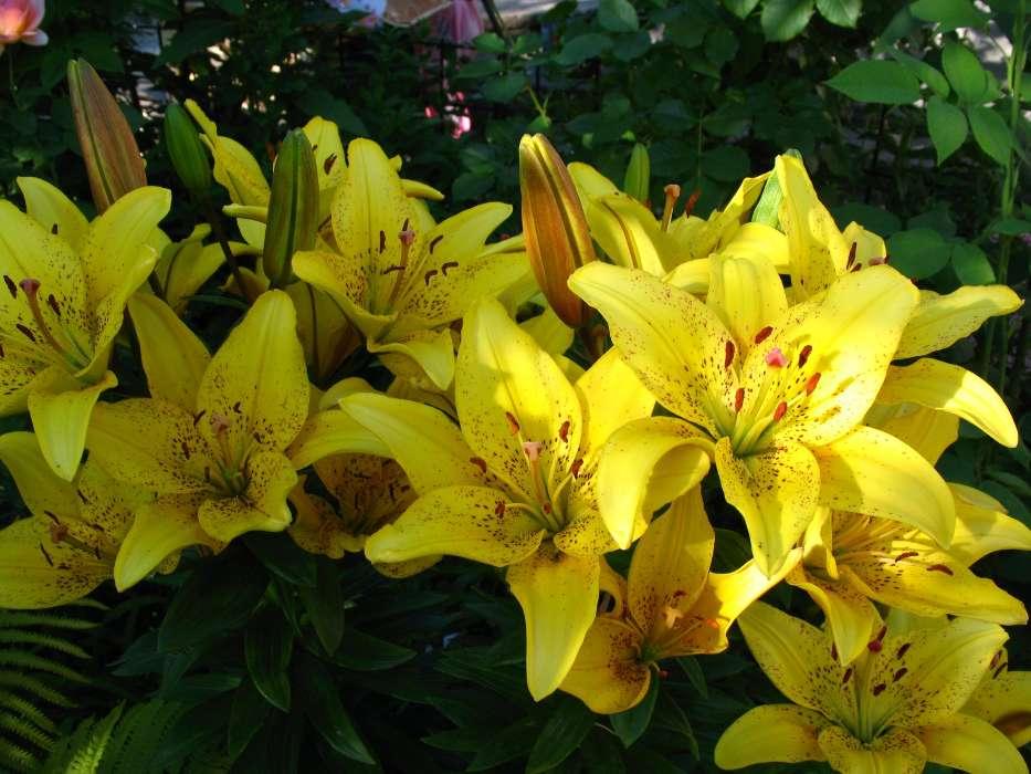 download bilder für das handy pflanzen blumen lilien
