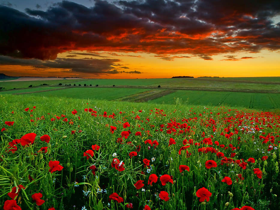 Download mobile wallpaper Plants, Landscape, Flowers, Fields, Sky, Poppies for free.