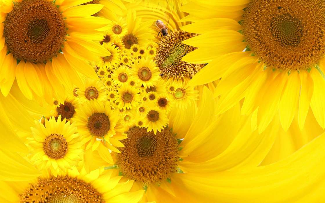 Download mobile wallpaper Plants, Flowers, Insects, Sunflowers, Bees for free.