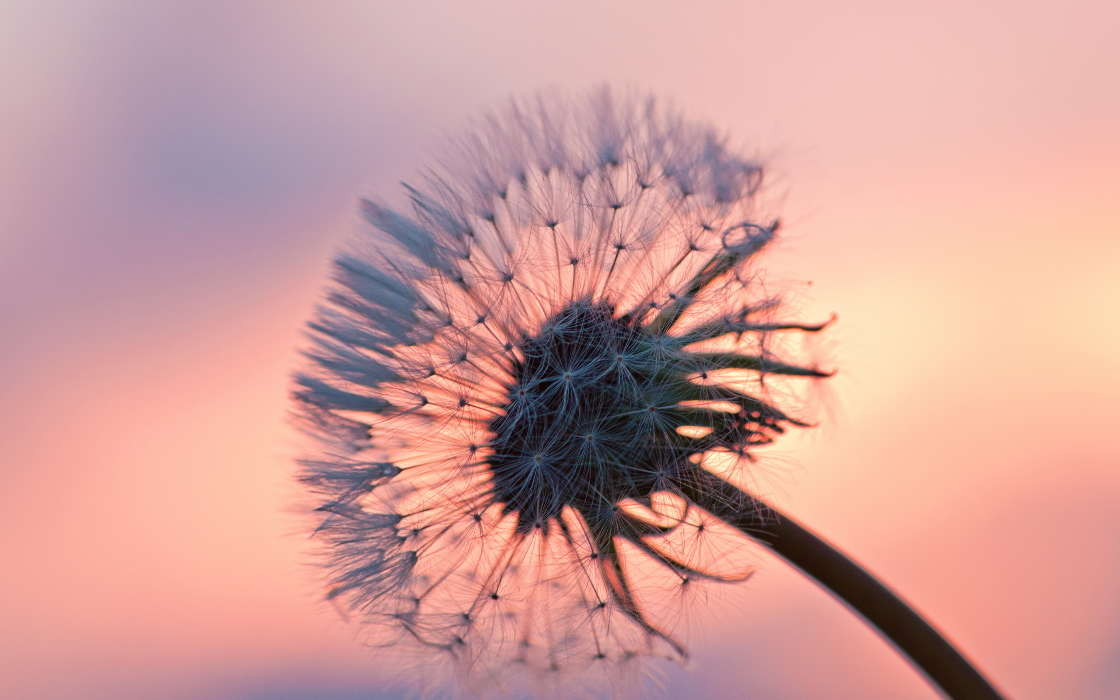 Download mobile wallpaper Plants, Flowers, Dandelions for free.