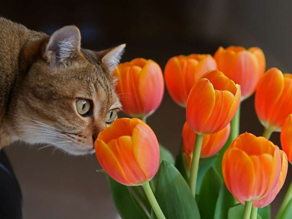 Download mobile wallpaper Animals, Plants, Cats, Flowers, Tulips for free.