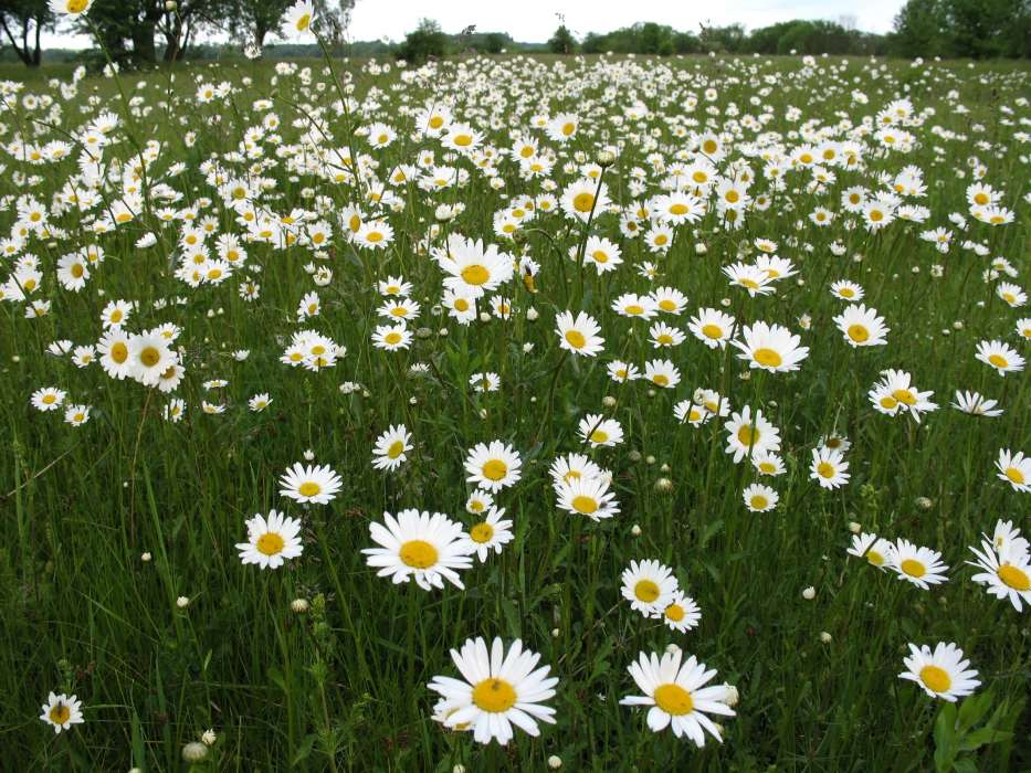 Download mobile wallpaper Plants, Landscape, Flowers, Fields, Camomile for free.